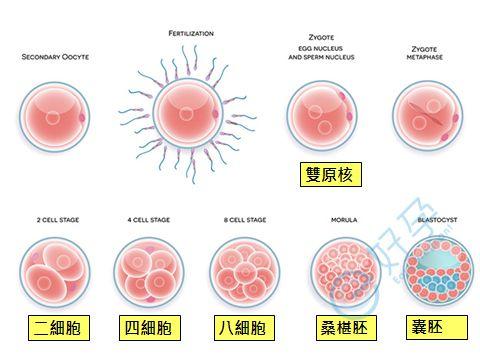 泰国试管婴儿-试管婴儿成功率-胚胎等级